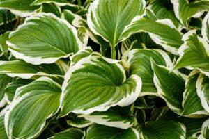 Funkien-Blätter