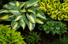 Funkien-Arten: Die 100 schönsten Sorten für Garten & Topf