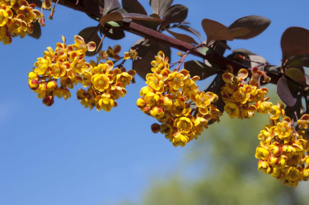 Gelbe Blüten der Berberitze Superba