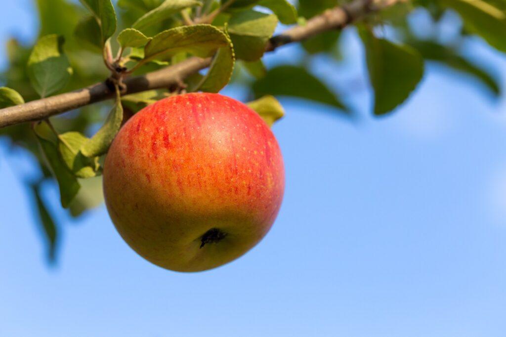 Einzelner Apfel an Ast