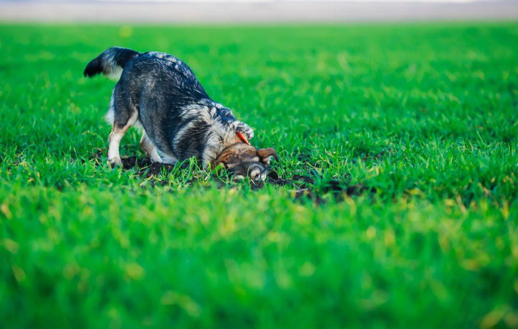 Hund Loch im Rasen grabend