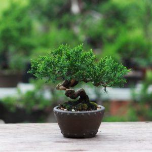 Japanischer Bonsai