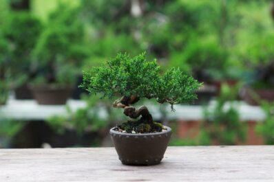 Bonsai-Arten: Liste der 22 beliebtesten Arten