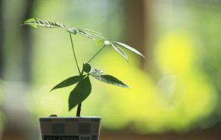 Glückskastanie: Alles Zu Pflege, Standort & Zum Vermehren