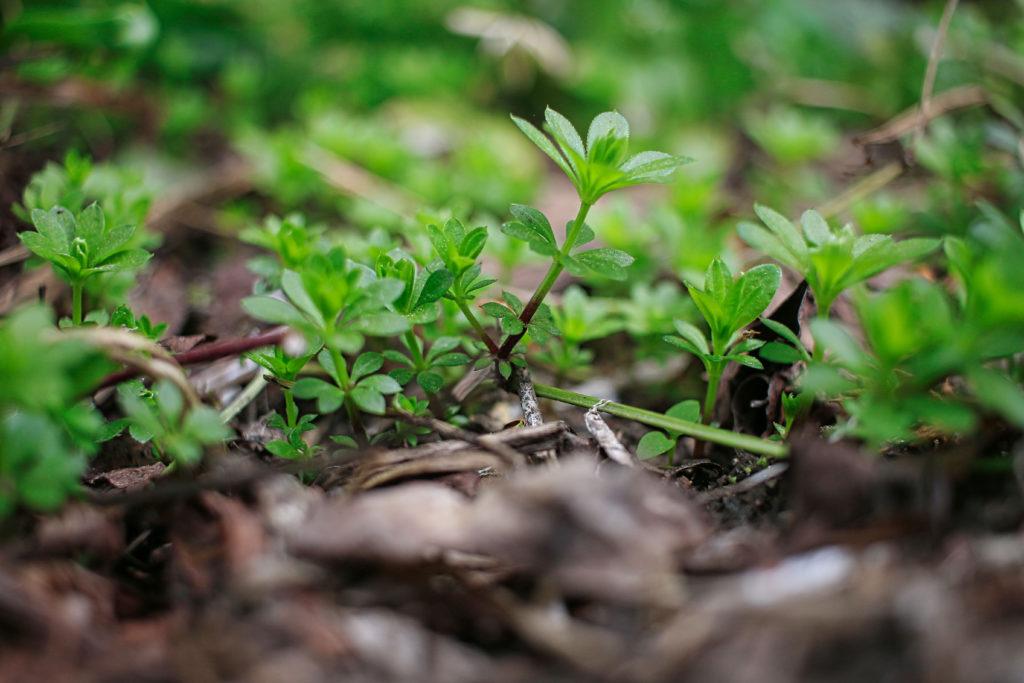 Junge Waldmeisterpflanze in Erde wachsend