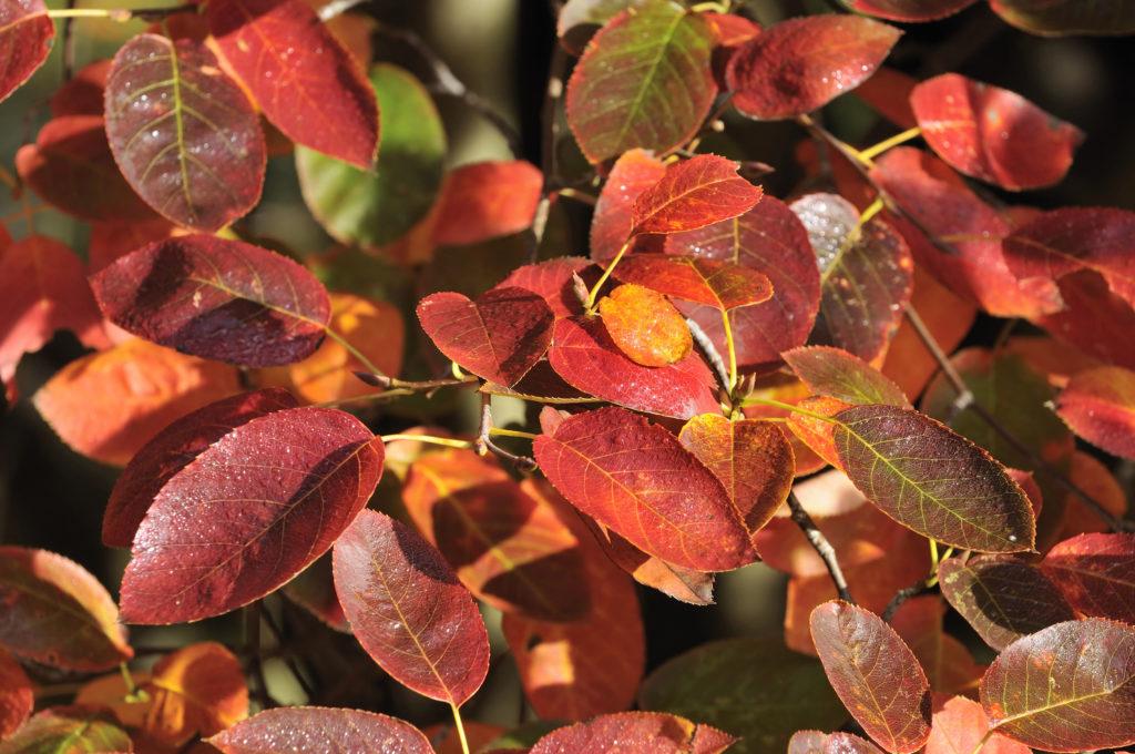 Kahle Felsenbirne in Herbstfärbung