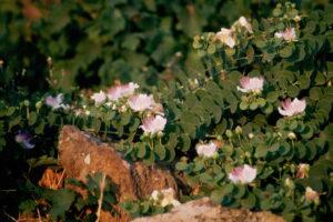 Kapernpflanzen An Felsen Wachsend