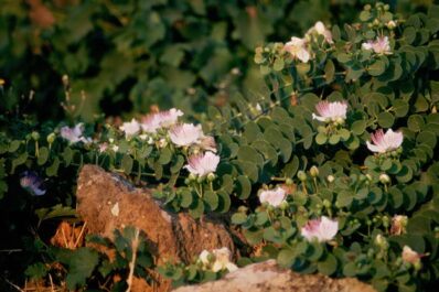 Kapern pflanzen: Alles zum Anbau im eigenen Garten