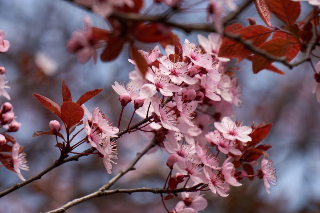 Rosa Kirschpflaumen-Blüten und rotes Laub