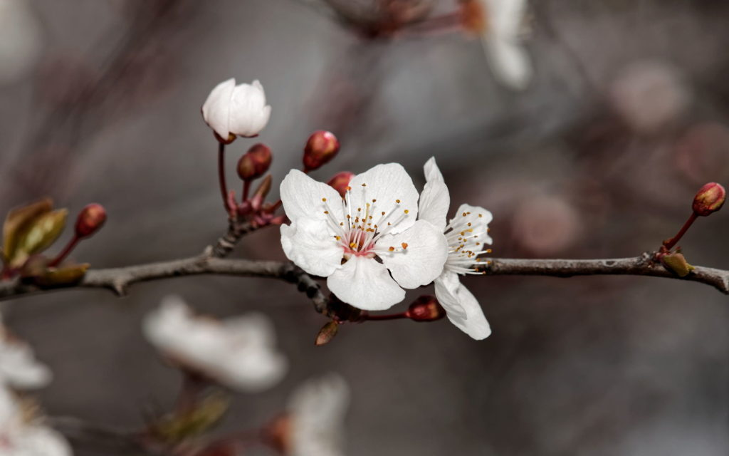 Weiße Kirschpflaum-Blüten