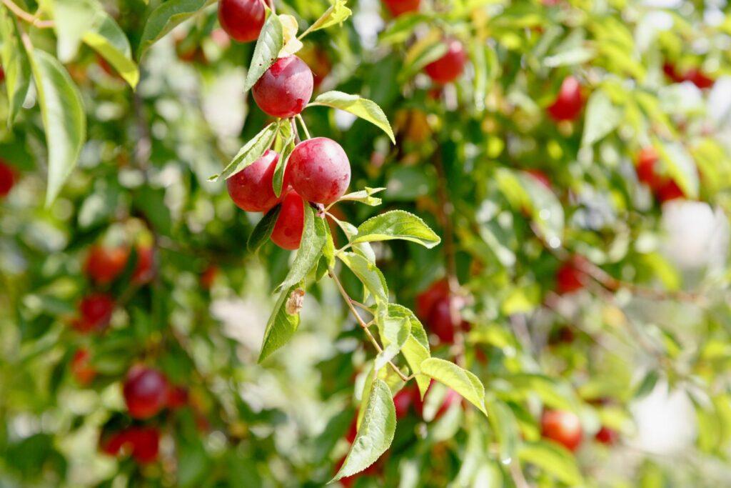 Kirschpflaumen hängen an Baum (sonnig)