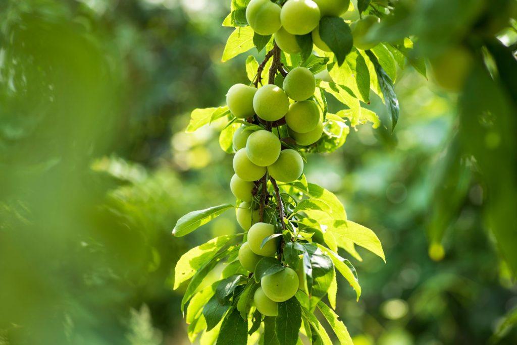 Unreife Kirschpflaumen hängen an Baum