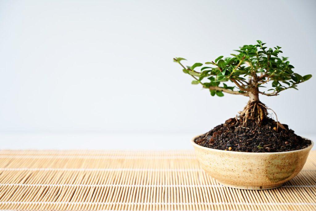 Kleiner Bonsai