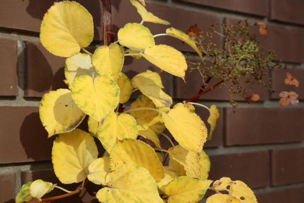 Kletterhortensie mit gelben Blättern an der Wand