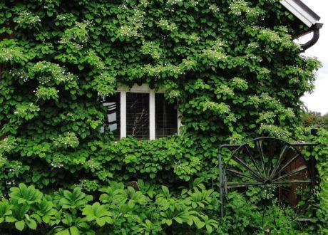 Kletterhortensie Wächst An Hausfassade