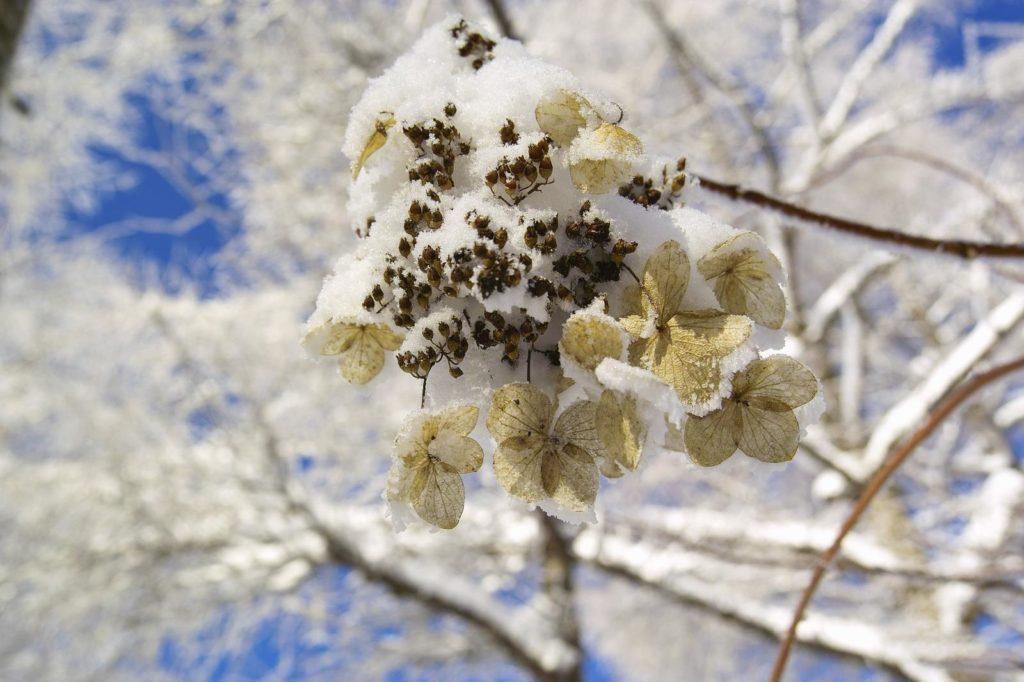 Kletterhortensie unter Schnee