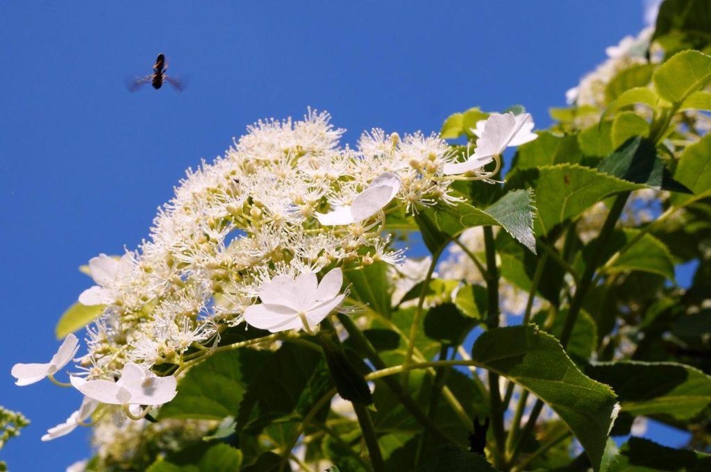 Kletterhortensien-Blüte zieht Insekten an