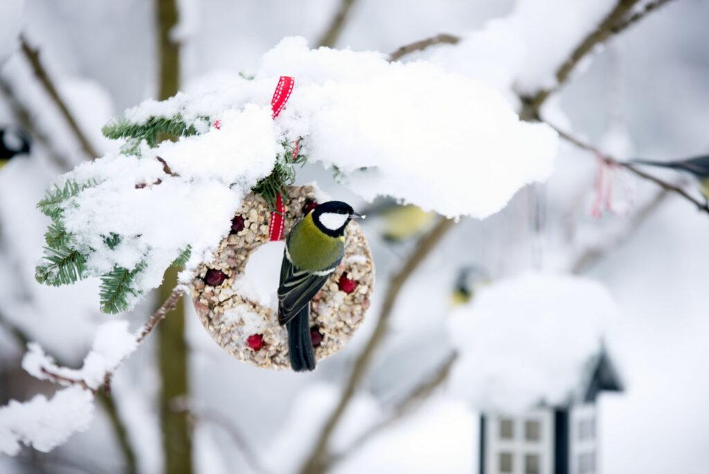 Kohlmeise an Meisenknödel im Winter sitzend