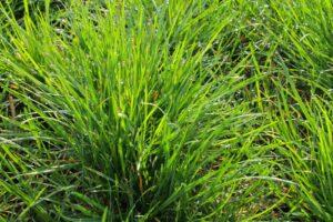 Graspflanze Der Art Lolium Perenne