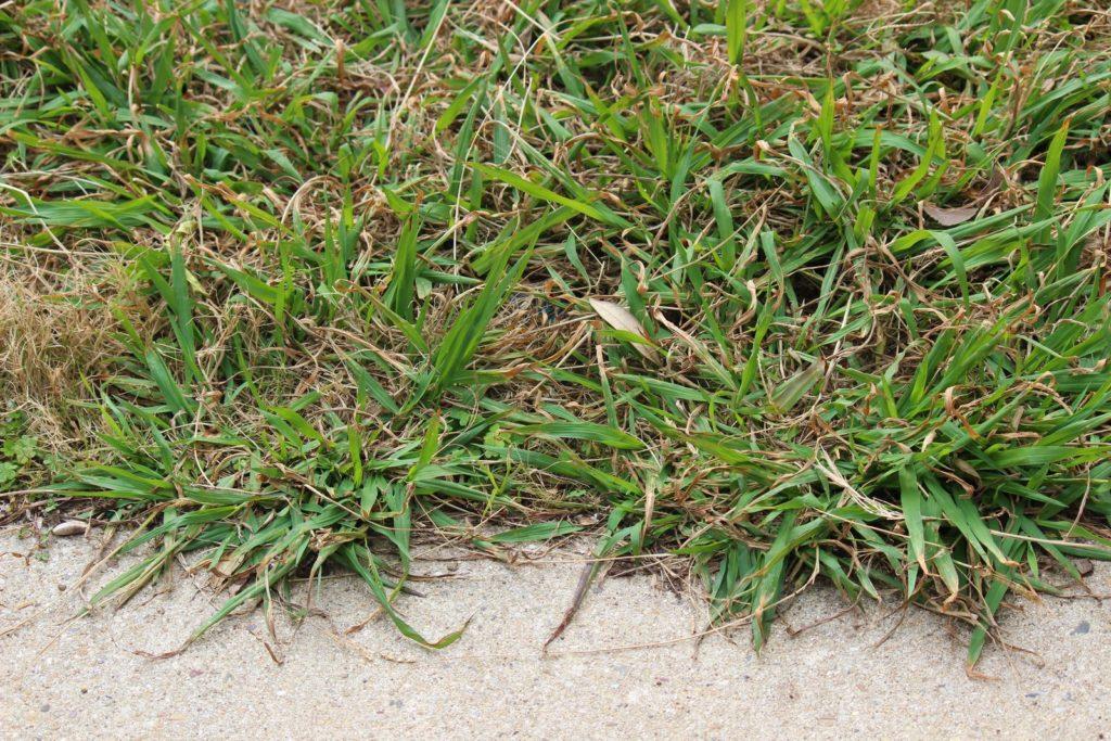 Einjähriges Weidelgras im Garten