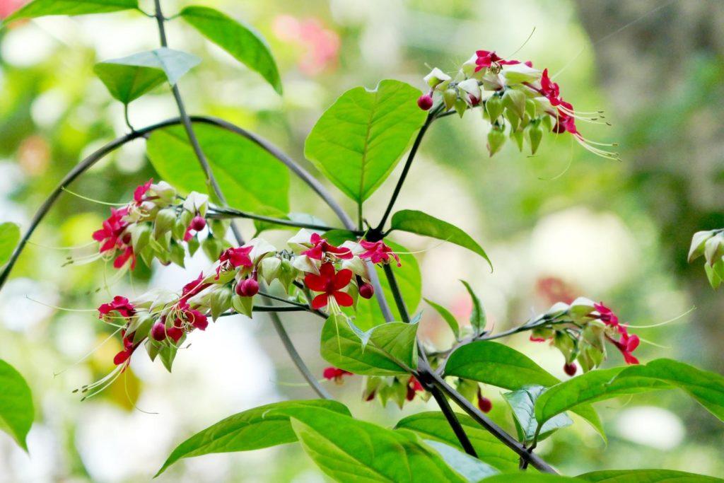 Losbaum roten Blüten