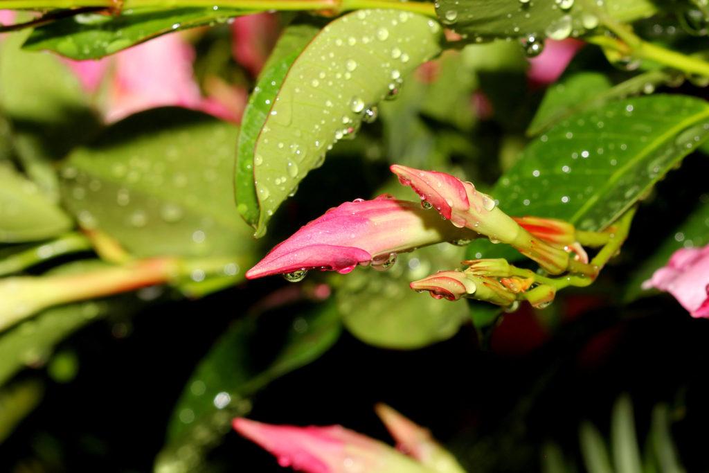 Mandevilla-Blüten mit Wassertropfen