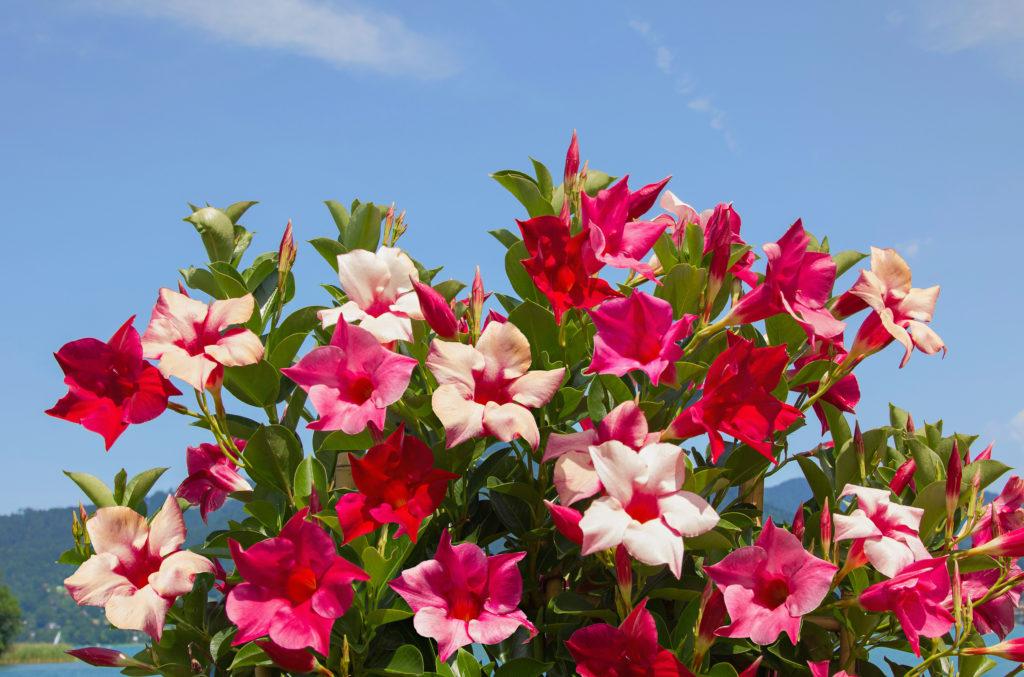 Mandevilla mit pinken Blüten in der Sonne