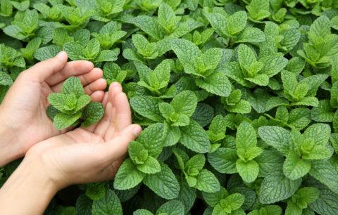 Minzarten: Erfrischende Arten & Sorten Für Den Garten