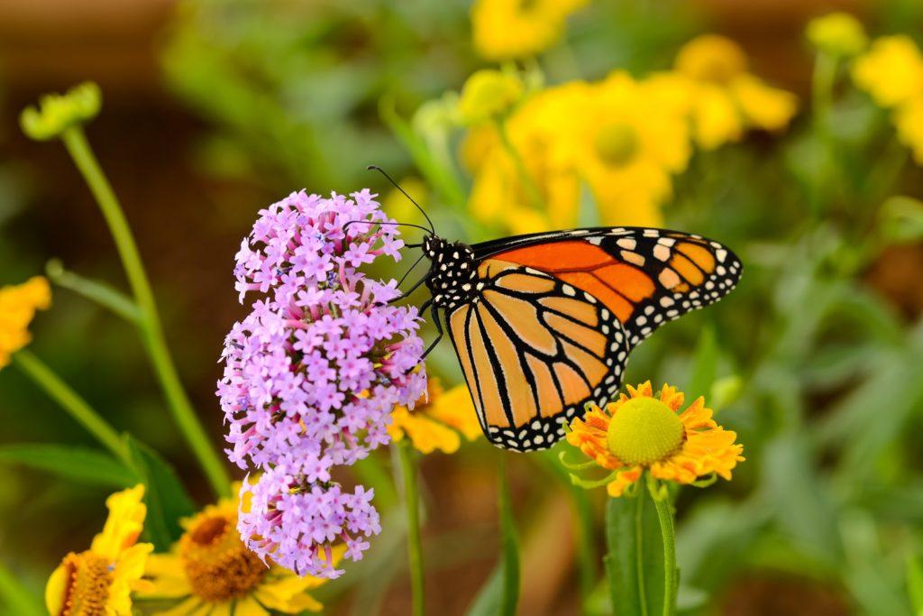 Monarchfalter auf rosa Blüte