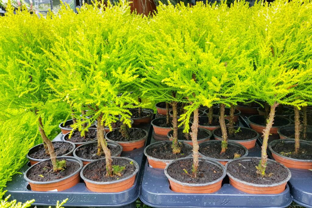 Monterey-Zypressen im Töpfchen im Gartenmarkt