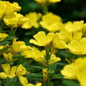 Gelbe Blüten Der Nachtkerze