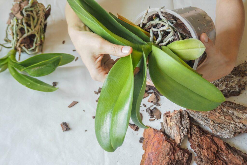 Orchidee in Orchideenerde gepflanzt
