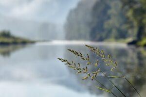 Gewöhnliches Rispengras Vor See