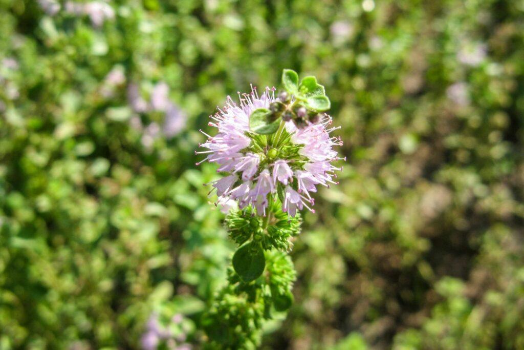 Poleiminze mit Blüten in der Sonne