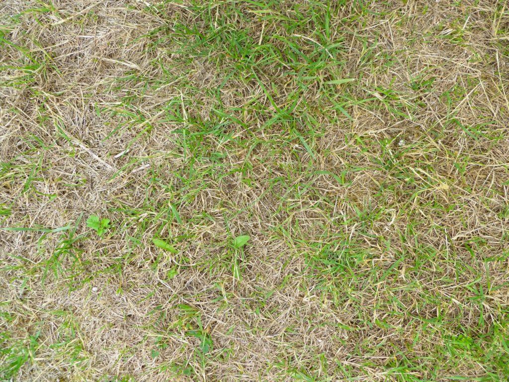 Brauner und trockener Rasen
