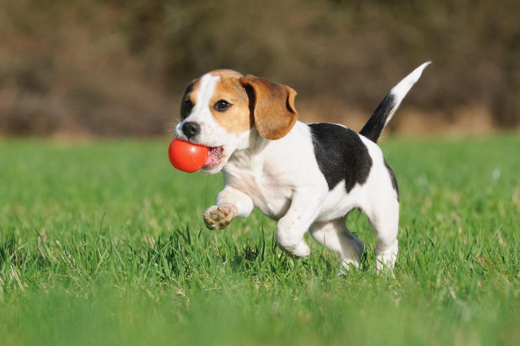 Hund spielt auf Rasen