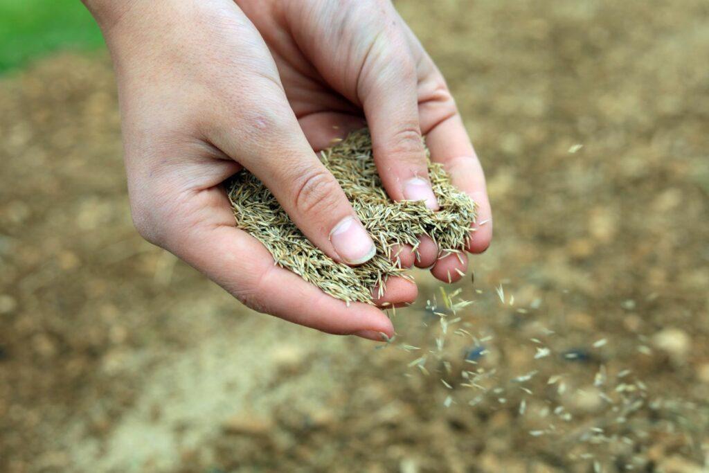Rasensamen von Händen ausgesät