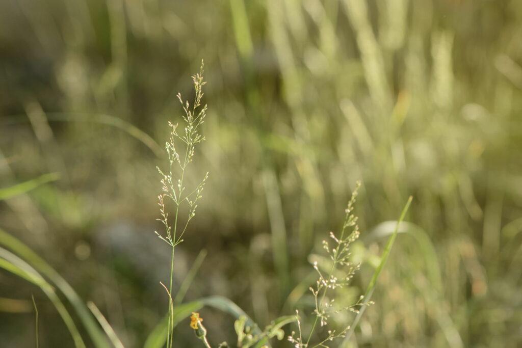 Rispengras auf Feld wachsend