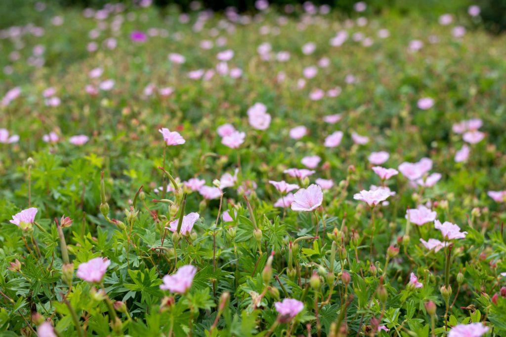 Rosa-Teppich-Nachtkerzen in einem Feld
