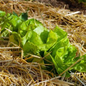 Salat Gemulcht