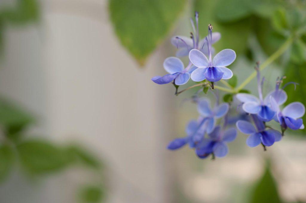 Uganda Losstrauch mit blauen Blüten