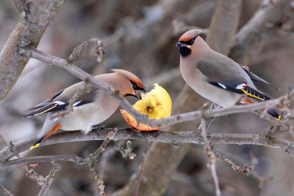 Getrocknete Mehlwürmer Für Wildvögel