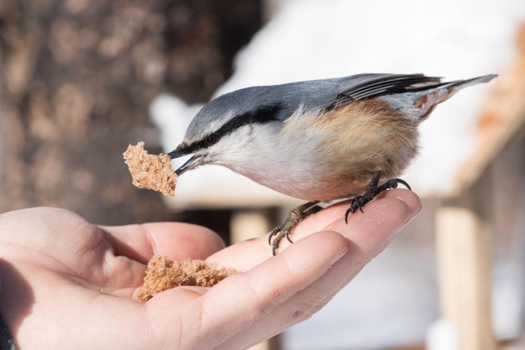 Vogel Brot auf Hand fressend