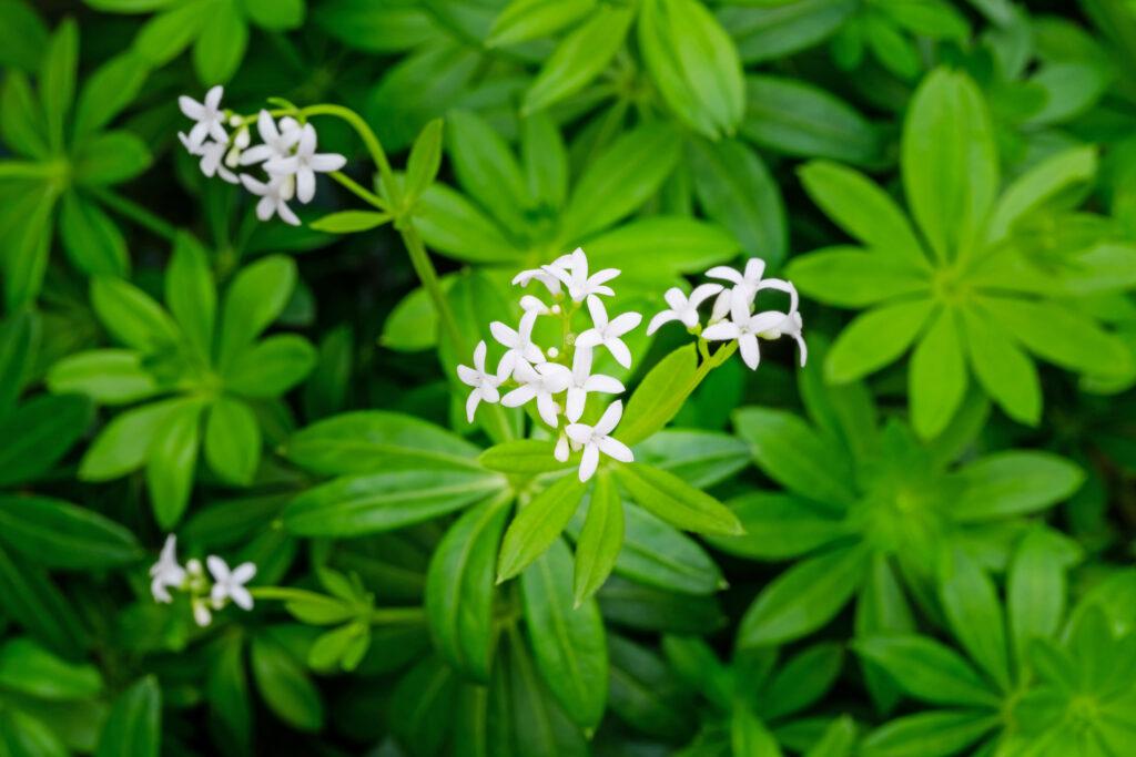 Waldmeister mit Blüten im Beet
