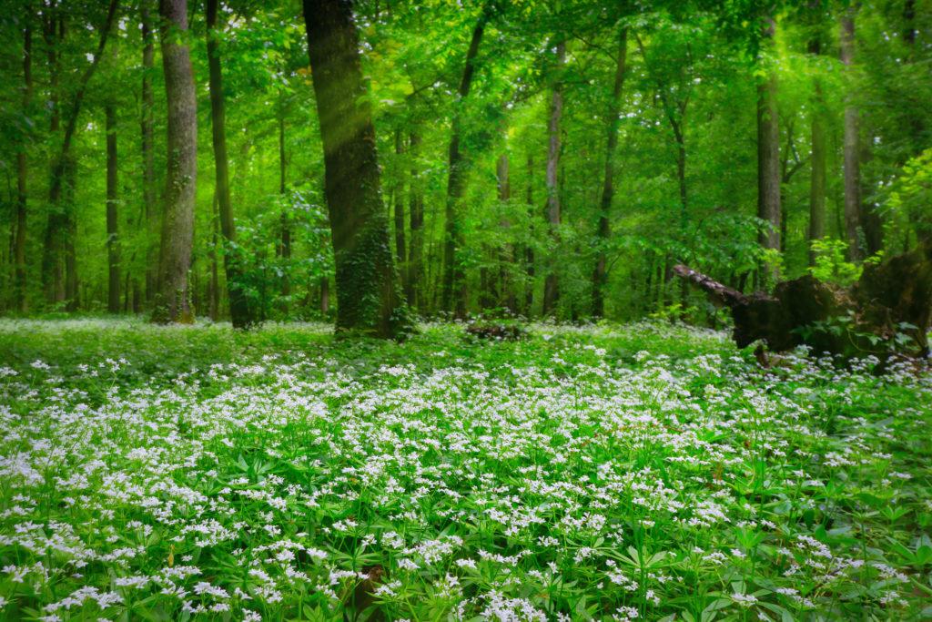 Waldmeister den Waldboden bedeckend