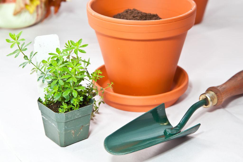 Waldmeisterpflanze mit Topf und Schaufel