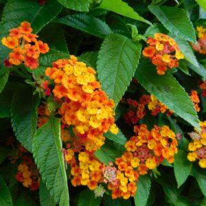 Wandelröschen Mit Rot-orangen Blüten Und Grünen Blättern