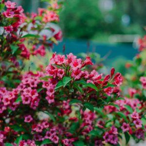 Weigelien Mit Rosa-roten Blüten