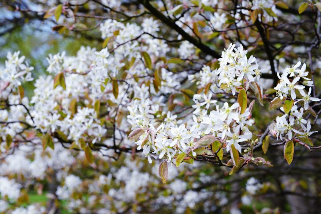 Weiße Blüten der Felsenbirne