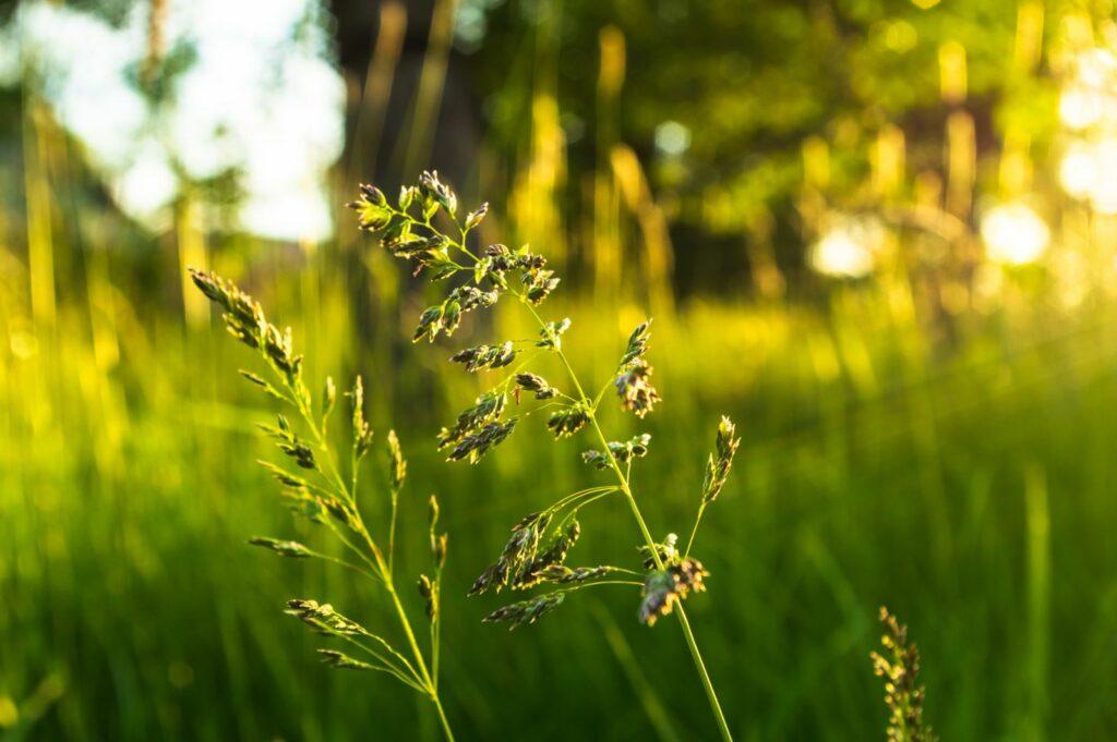 Wiesenrispe in Feld in der Sonne